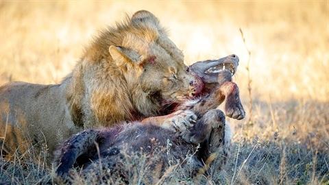 Sư tử chơi đòn chí mạng, linh cẩu đau đớn tột cùng