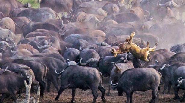 Lạc giữa đàn trâu rừng, sư tử cái chết thê thảm