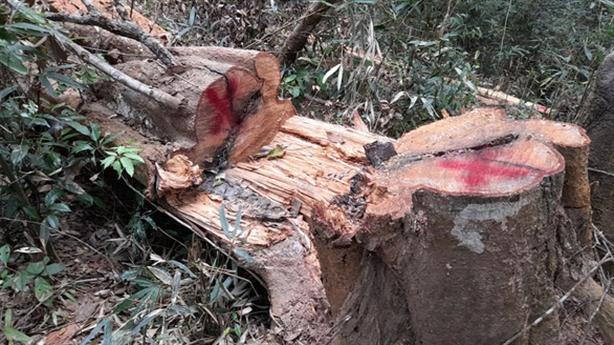 Vụ phá rừng đặc dụng Mường Phăng: Chỉ đạo nóng