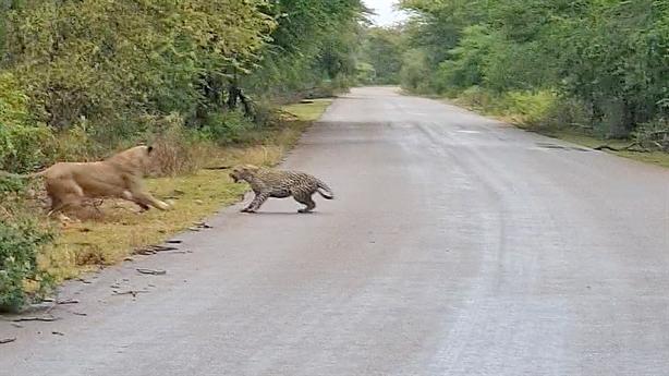 Lơ đễnh trên đường, báo suýt bị sư tử xé xác