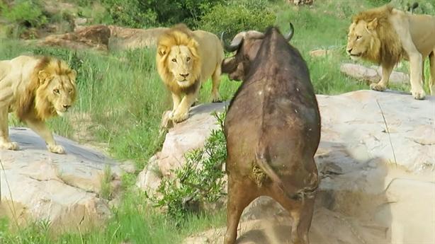 Trâu rừng bị thương lại đen đủi gặp ba sư tử
