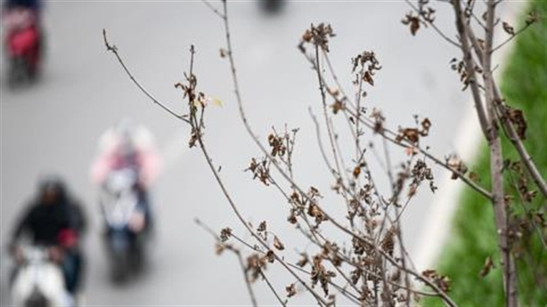 Phong lá đỏ trồng ở Hà Nội trụi lá: Không lạ
