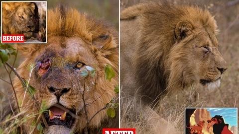 'Vua sư tử' bị chọc mù mắt: Ai là thủ phạm?