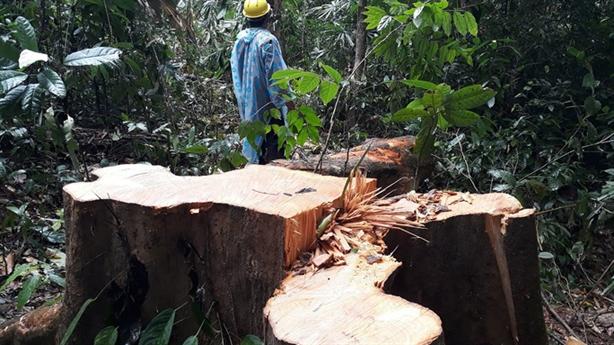 Chất lượng rừng tự nhiên Việt Nam còn thấp