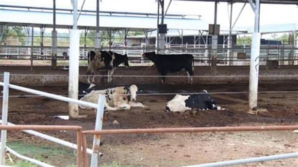 3.000 tỷ đồng chỉ nuôi vài chục con bò: Xót ruột...