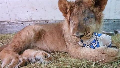 Nhập lậu vào Nga, 'vua sư tử' nhận kết thảm thương
