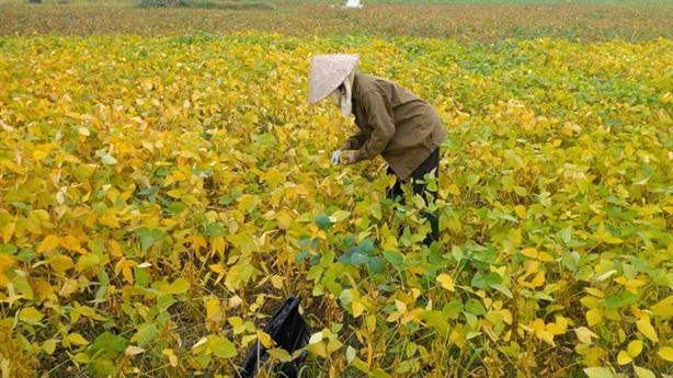 Hái lá đậu tương bán 18.000/kg cho thương lái: 'Dân hào hứng'