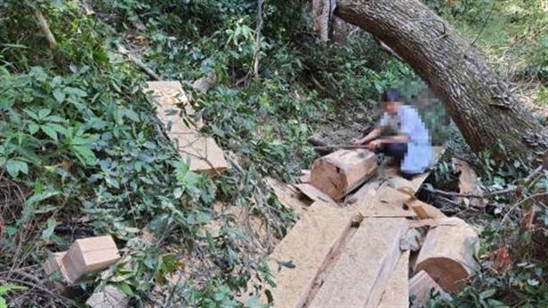 Lâm tặc đốn hạ gỗ trong rừng phòng