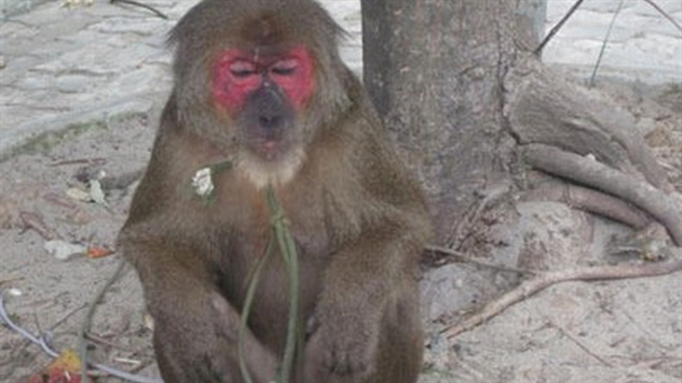 Khỉ mặt đỏ tấn công người: 'Cần 4-5 lực lượng bắt khỉ'