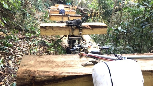 Công ty khai thác sâm Ngọc Linh để mất rừng