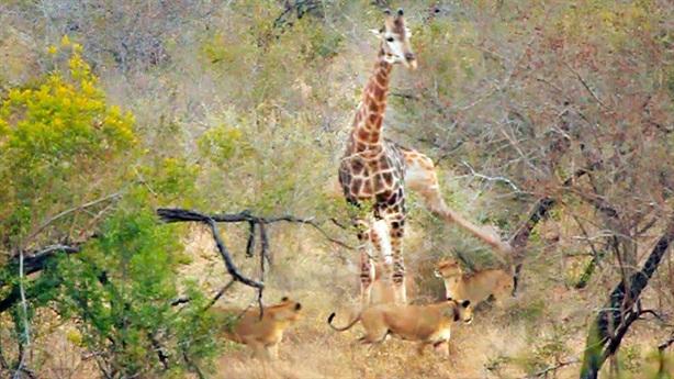 Hươu cao cổ tung đòn hiểm chiến bầy sư tử: Vẫn thắng