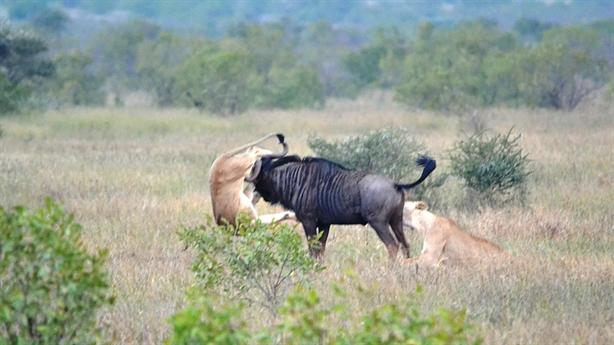 Chiến đôi sư tử đói, linh dương đầu bò thắng sốc