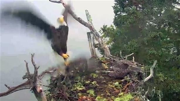 Đại bàng hói 'quen mui' thảm sát tổ chim ưng biển