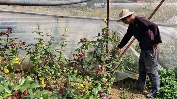 Trộm hoa hồng hàng xóm đi bán được 7 triệu đồng