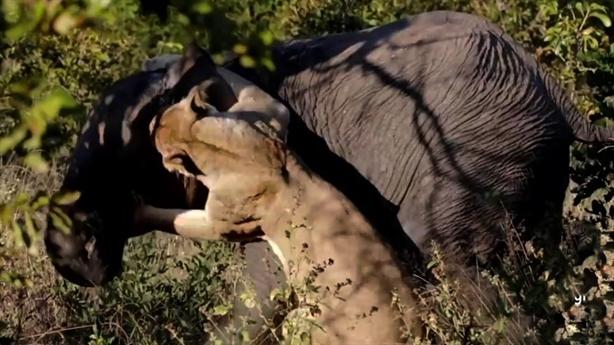 Voi con tử chiến sư tử mẹ: Lật kèo phút cuối