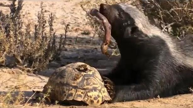 Gặp 'kẻ bố đời' lửng mật, rùa bỏ mạng trong tức tưởi