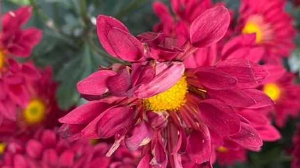 Rắc muối vào ruộng hoa Tết của nông dân: 'Điều lạ là...'