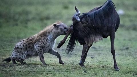 Chiến thuật khôn ngoan, linh cẩu đơn độc giết con mồi lớn