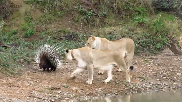 Cả bầy sư tử vây nhím lớn: Vẫn bất lực