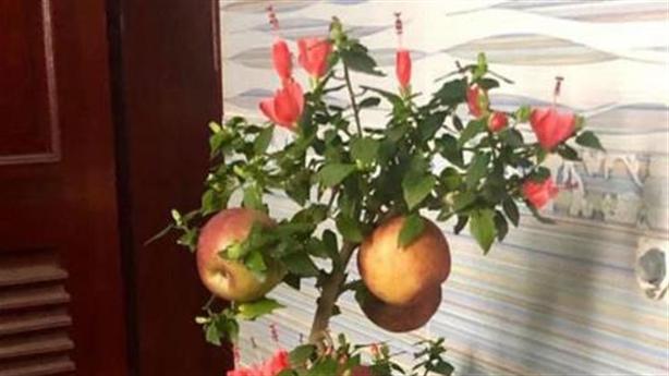 Bỏ tiền triệu mua cây chơi tết nhận về trái đắng