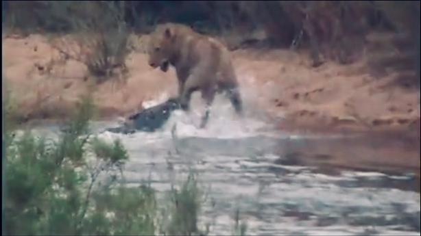 Bị cá sấu khổng lồ phục kích, sư tử chết hụt