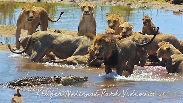 Tính ăn chia với sư tử, cá sấu bẽ bàng rút lui