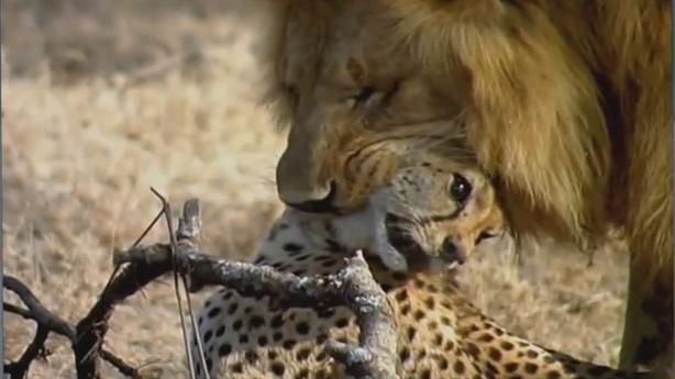 Đôi sư tử hung dữ xé xác báo lớn để ăn thịt