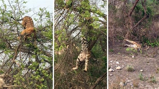 Hổ đói leo cây cao bắt khỉ: Kết bẽ bàng