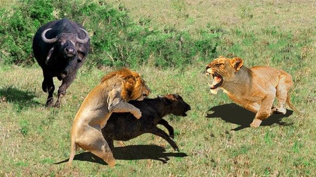 Gặp đàn sư tử gian manh, trâu mẹ tử chiến bất thành