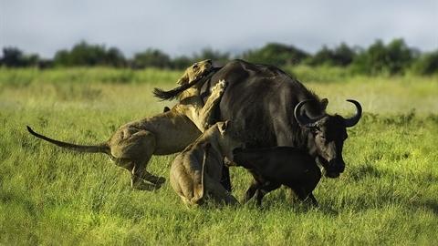 Trâu rừng mẹ tử chiến bầy sư tử cứu con: Kết thảm