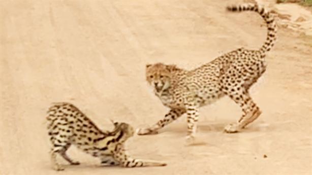 Mèo rừng chạm trán báo Gêpa giữa đường: Kết bất ngờ