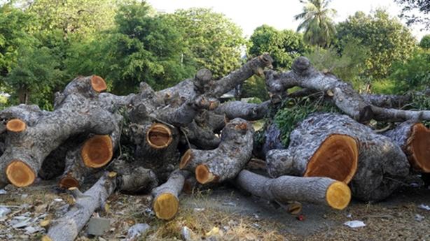 Cưa cây cổ thụ làm đường: 'Dân thắc mắc vì tiếc'