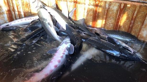 Doanh nghiệp khai gian chủng loại cá tầm TQ vào Việt Nam