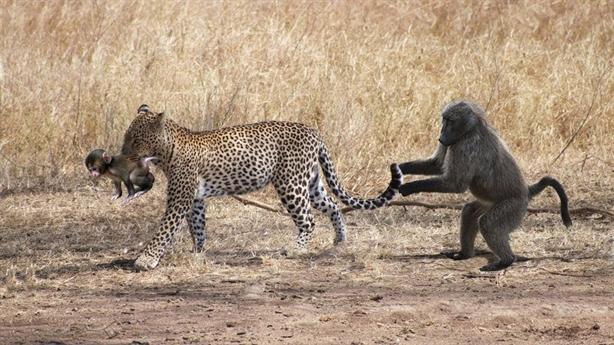 Phút lơ đễnh, khỉ mẹ ôm xác con suốt một tuần