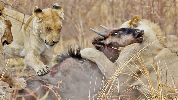Cận cảnh bầy sư tử xé xác con mồi tội nghiệp
