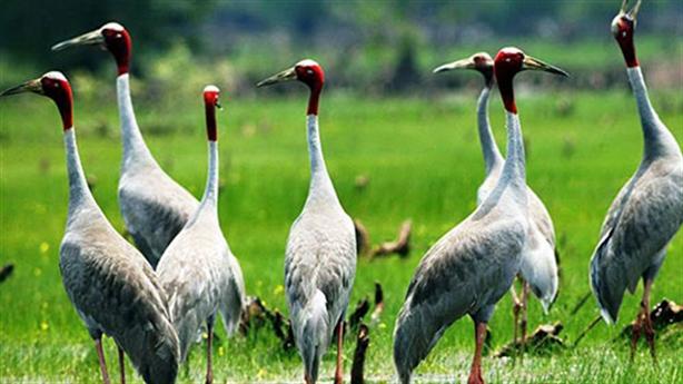 3 cá thể sếu đầu đỏ về Vườn Quốc gia Tràm Chim