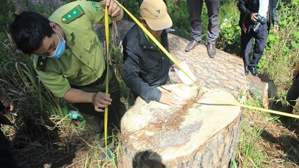 Loạt cây thông cổ thụ bị cưa trái phép: Nghỉ lễ nên...