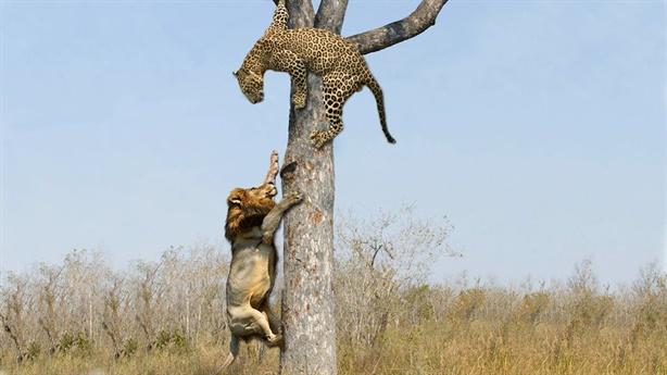 Sư tử leo cây cướp mồi báo: Gãy cành, kết đau điếng