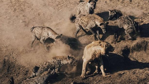 Chúa sơn lâm tử chiến 30 linh cẩu đói: Kết choáng
