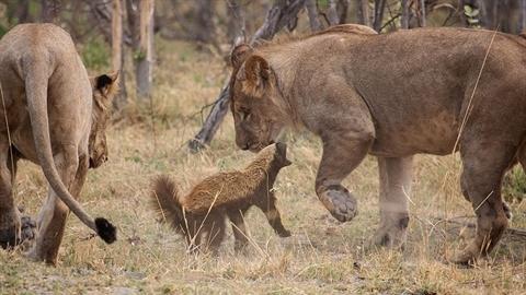 Kẻ bố đời tinh ranh khiến bầy sư tử thua muối mặt