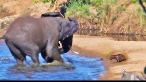 Kinh hãi khoảnh khắc hà mã con bị voi điên tấn công