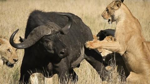 Trâu rừng đơn độc chiến 15 sư tử: Liệu có phép màu?