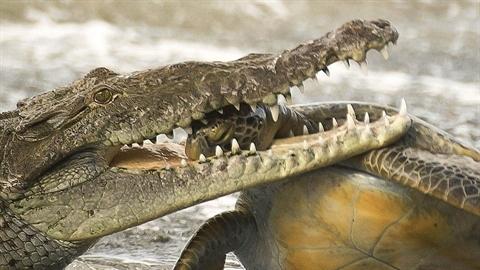 Kinh hoàng cá sấu lao từ dưới biển tóm rùa lớn