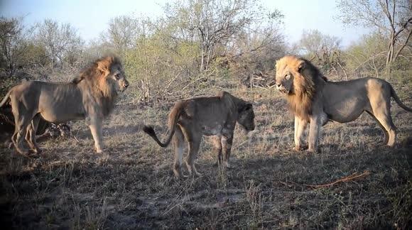 Bị phá cuộc yêu, sư tử choảng nhau 'không trượt phát nào'