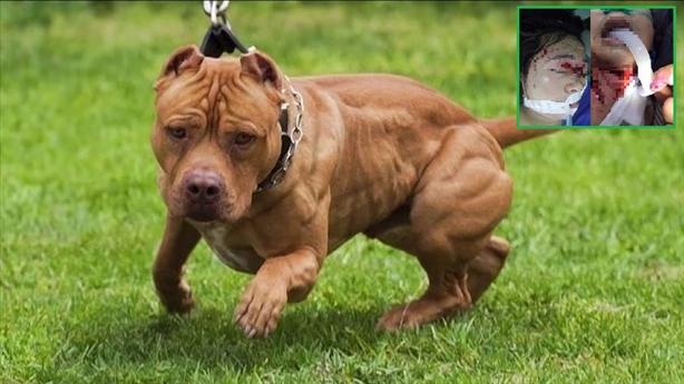 Chó Pitbull cắn con, bố thọc tay vào miệng chó tách răng