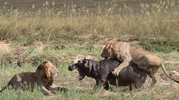 Lạc đường gặp đôi sư tử dữ, hà mã có 'vượt hạn'?