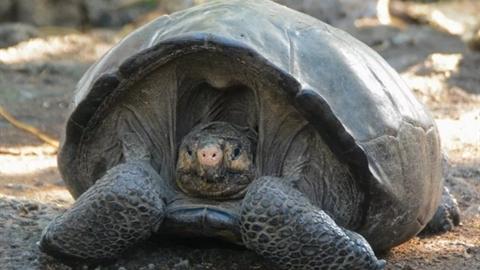 Tìm thấy rùa khổng lồ tưởng đã tuyệt chủng hơn trăm năm