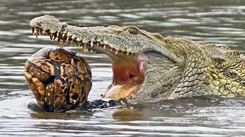 Cá sấu bất lực phá mai rùa: Hành động sốc