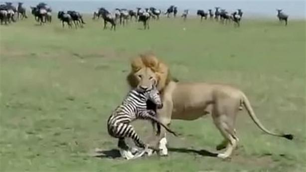 Kinh hoàng vừa chào đời, ngựa vằn bị sư tử xé xác