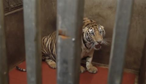 Nhà dân nuôi 17 con hổ: Đã chuyển tới khu Mường Thanh